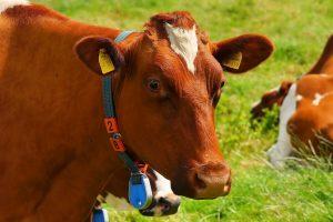 El ganado vacuno puede reducir las emisiones de gases de efecto invernadero